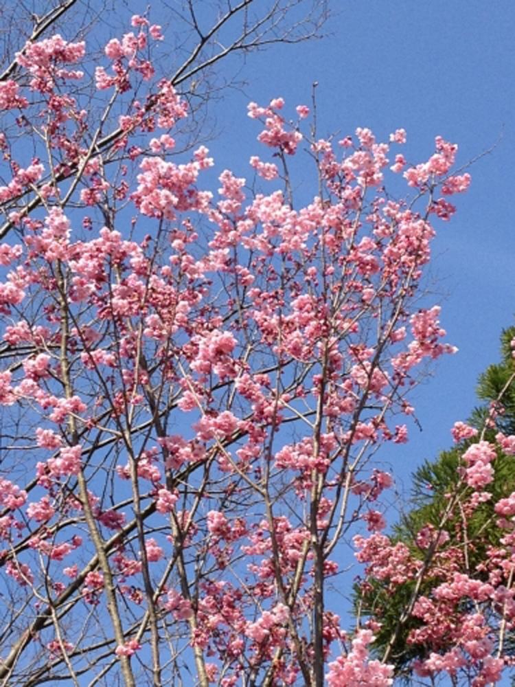 庭園設計・施工・管理|桜の植樹(○○県○○市)